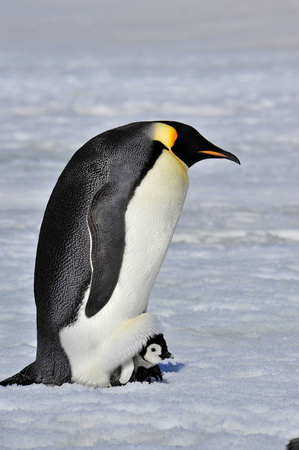 Emperor Penguin Protecting chick  from the Cold
