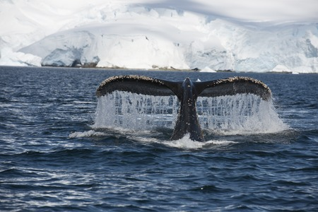 baleen whale: Humpback Whale tail coming out the water in Antarctica
