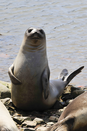 baby seal: Baby Elephant Seal  look like Napoleon in South Georgia