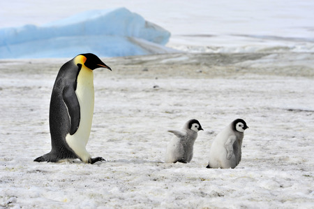 Emperor Penguin with two chicks in Antarctica Stock Photo