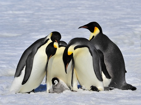 Emperor Penguins with chick fight for adopting Stockfoto