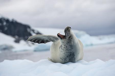 antarctica: Crabeater seals on the ice in Antarctica