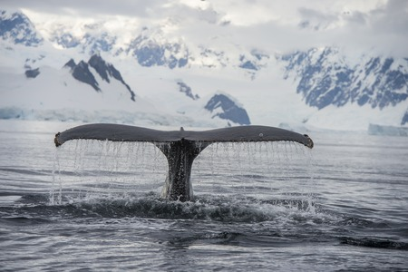 caudal fin: Humpback Whale tail with iceberg on backgrownd