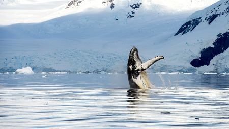 Hampback whale breaching jumping  in Antarctica picture from boat Stok Fotoğraf