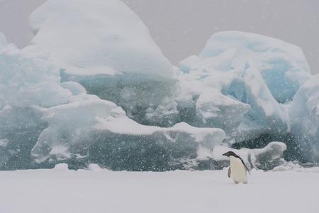 antarctica: Adelie Penguin on an Iceberg in Antarctica