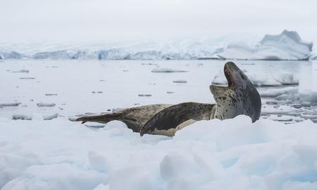 antarctica: Leopard Seal on Ice Floe in Antarctica Stock Photo
