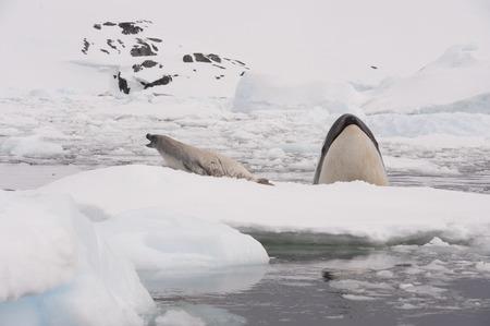 minke: Killer whale spy hanting  for Crabeater seal in Antarctica