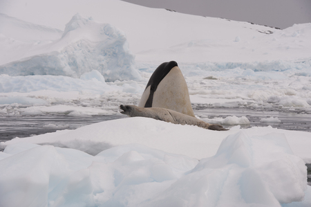 weddell: Killer whale spy hanting  for Crabeater seal in Antarctica