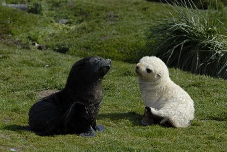 south georgia: Two baby of Fur Seal  in South Georgia