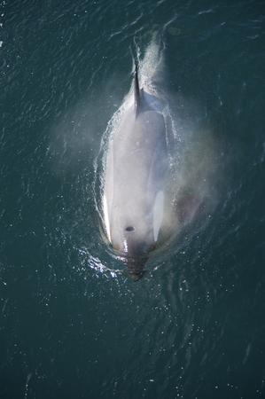 minke: Killer Whale in Anatcrica  swiim along the ship