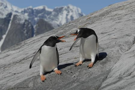 gentoo: Two Gentoo Penguins fight on the rock in Antarctica Stock Photo