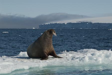 Walrus on an ice floe in the Spitsbergen
