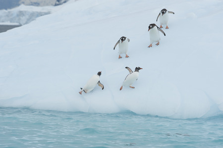 playtime: Gentoo Penguin playtime at your local iceberg, Antarctica Stock Photo