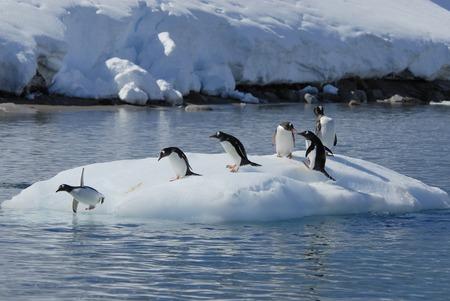 tiempo de juego del pingüino de Gentoo en el iceberg de locales, la Antártida Foto de archivo