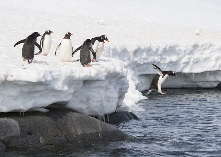 Gentoo Penguin playtime at your local iceberg, Antarctica Standard-Bild