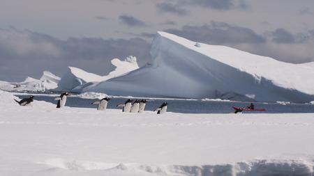 antarctica: Gentoo Penguin walk the snow in Antarctica Stock Photo