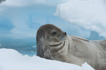 weddell: Weddell Seal laying on the iceberg in Antarctica Stock Photo