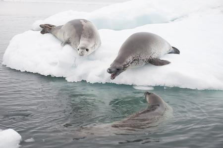 SELLOS: Las focas cangrejeras en el hielo en la Antártida Foto de archivo