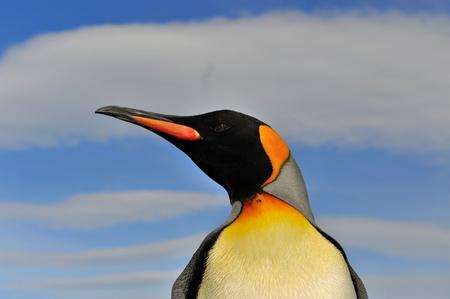 south georgia: King Penguin close up in South Georgia