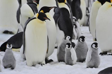 Pingüinos de emperador con el polluelo Snow Hill en la Antártida