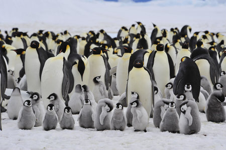 Emperor Penguins with chick Snow Hill  in Antarctica