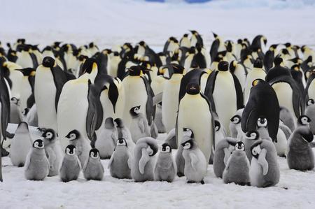 남극 대륙에서 병아리 눈 언덕과 황제 펭귄