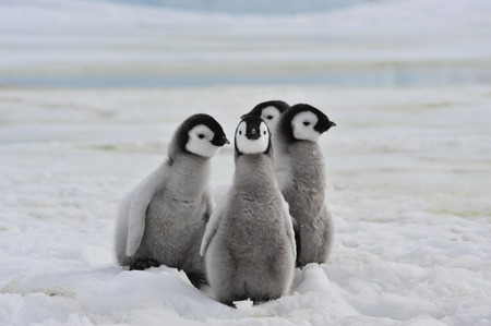 emperor: Emperor Penguins with chick Snow Hill  in Antarctica