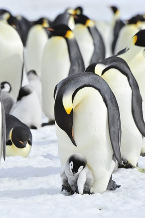 Emperor Penguins with chick Snow Hill in Antarctica Stock Photo