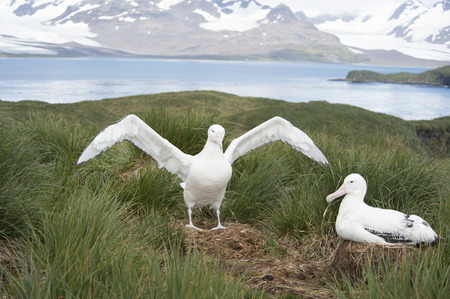 south georgia: Wandering Albatrosses on the nest South Georgia Island, Antarctica