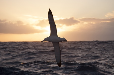 wandering: Wandering Albatrosses fly in sunset  in Drake Passage