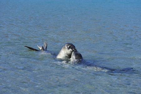 south georgia: elephant seals pups  playni in the water , South Georgia