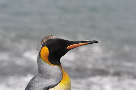 south georgia: King Penguin close up in South Georgia