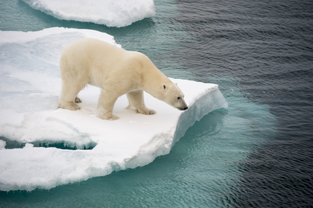 Polar bear walking on sea ice in the Arctic Stock Photo - 64966063