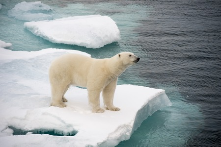 Polar bear walking on sea ice in the Arctic