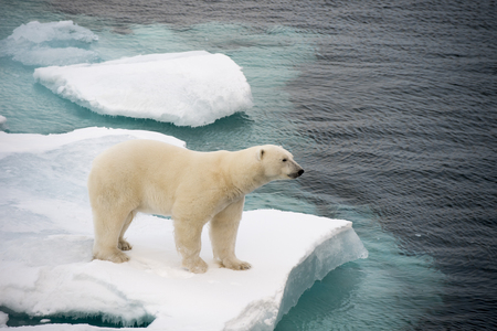 polar climate: Polar bear walking on sea ice in the Arctic