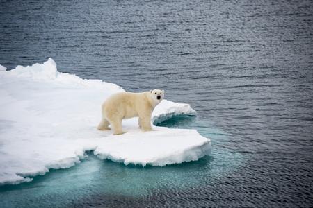 IJsbeer die op overzees ijs in het Noordpoolgebied lopen