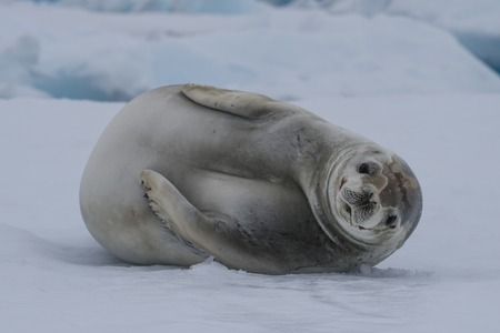 Crabeatre Seal laying on the ice