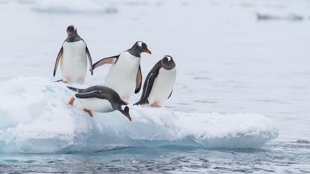 Gentoo Penguin walk on the snow Stock Photo