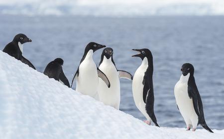 Adelie Penguin jump