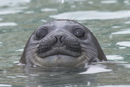 Baby Elephant Seal in the waer South Georgia
