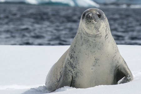 Crabeater seals on the ice in Antarctica