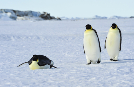Three Emperor Penguins on the snow
