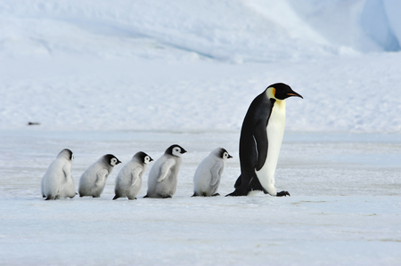 Emperor Penguins with chick Banque d'images