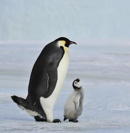 Pingüino emperador con el polluelo