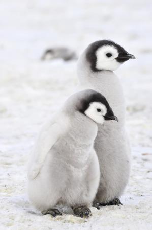 Emperor Penguin chicks in Antarctica Banque d'images
