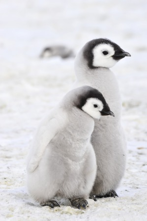 Emperor Penguin chicks in Antarctica Standard-Bild