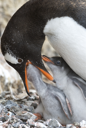 Adult Gentoo penguiN with chick. Stock Photo