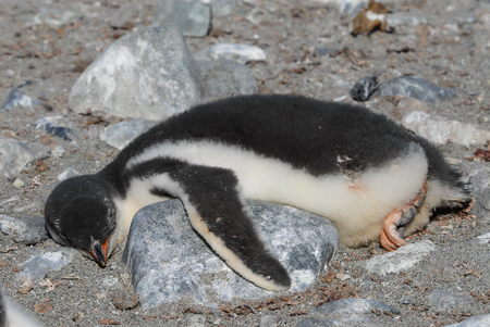 Gentoo Penguin chick lying on the rock
