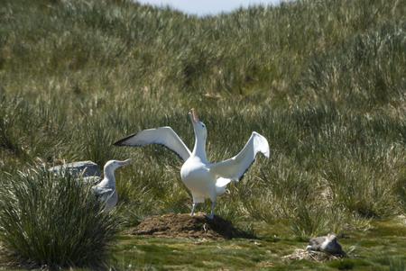 Wandering Albatrosses on the nest