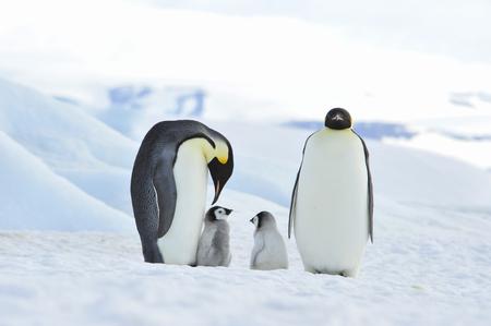 Emperor Penguins with chick Stok Fotoğraf